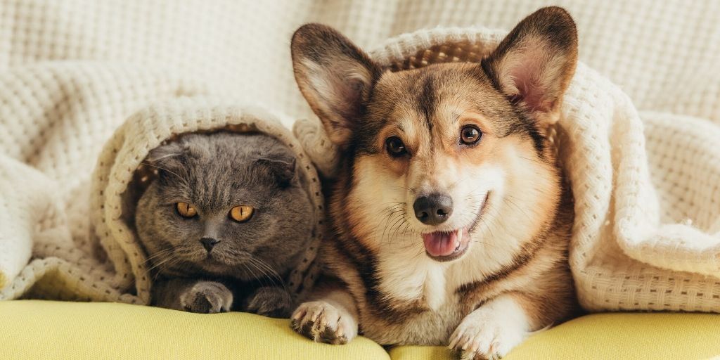 corgi with cat friend under a blanket