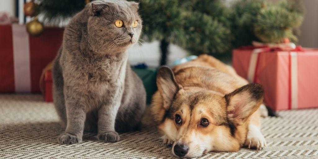 corgi meeting a cat