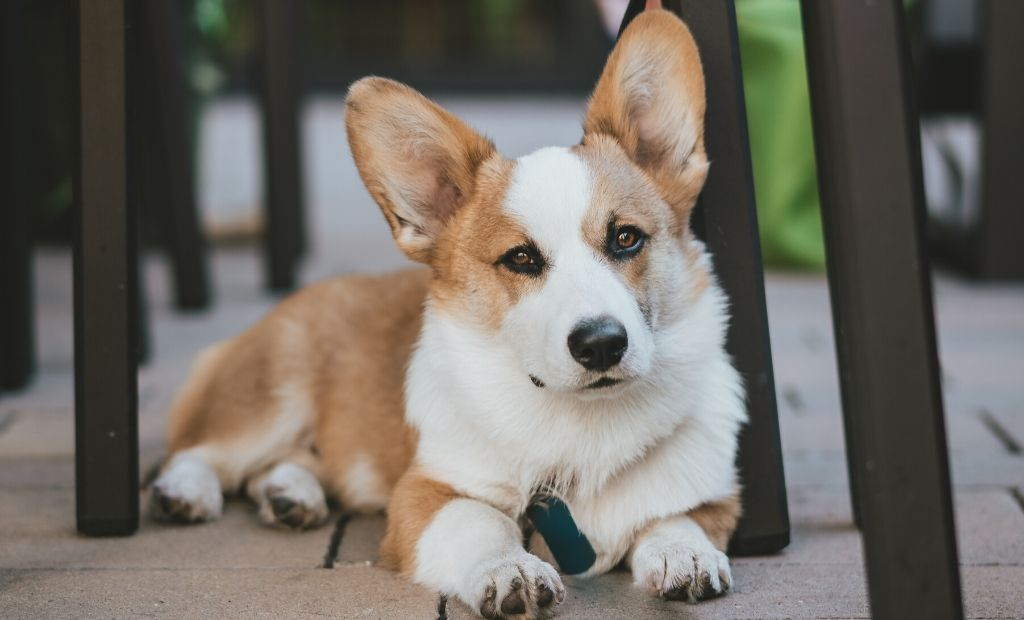 corgi with a ball under a table