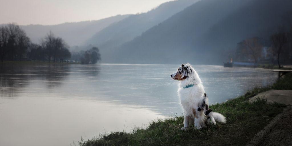 merle australian shepherd by the water