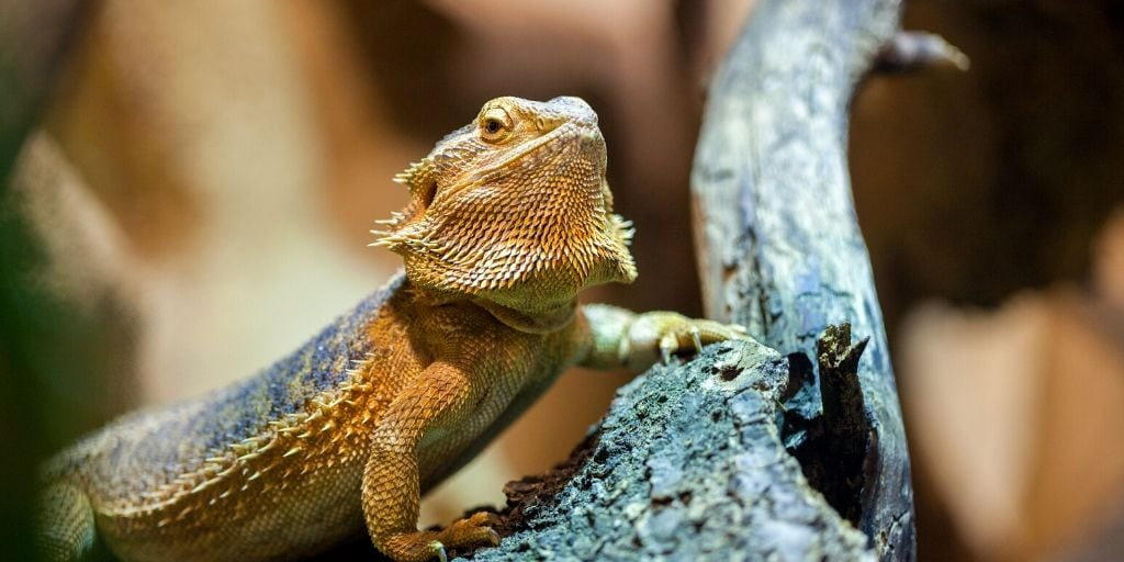 bearded dragon on a branch