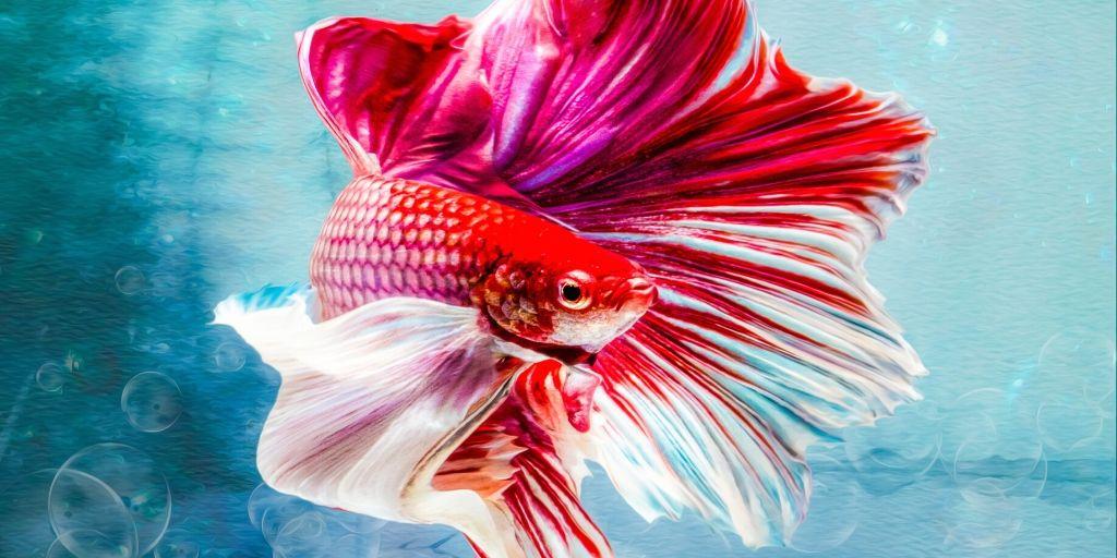 betta fish in colored light