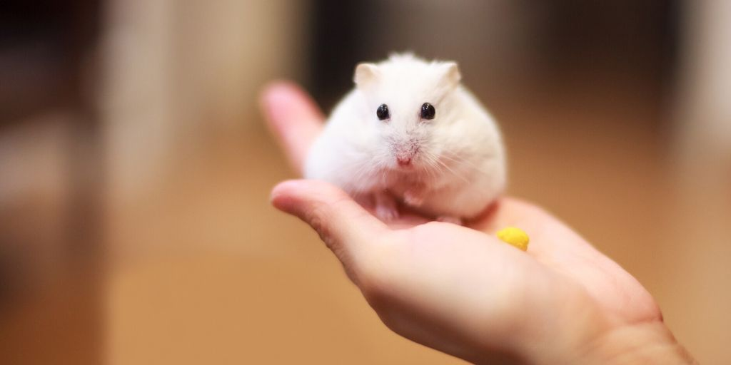 hamster with a cheese puff