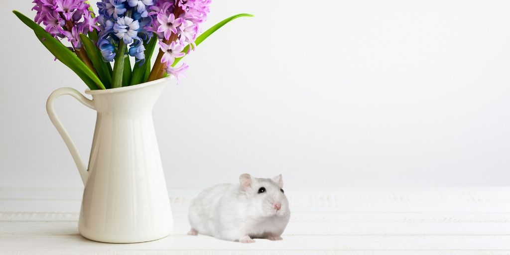 winter white hamster