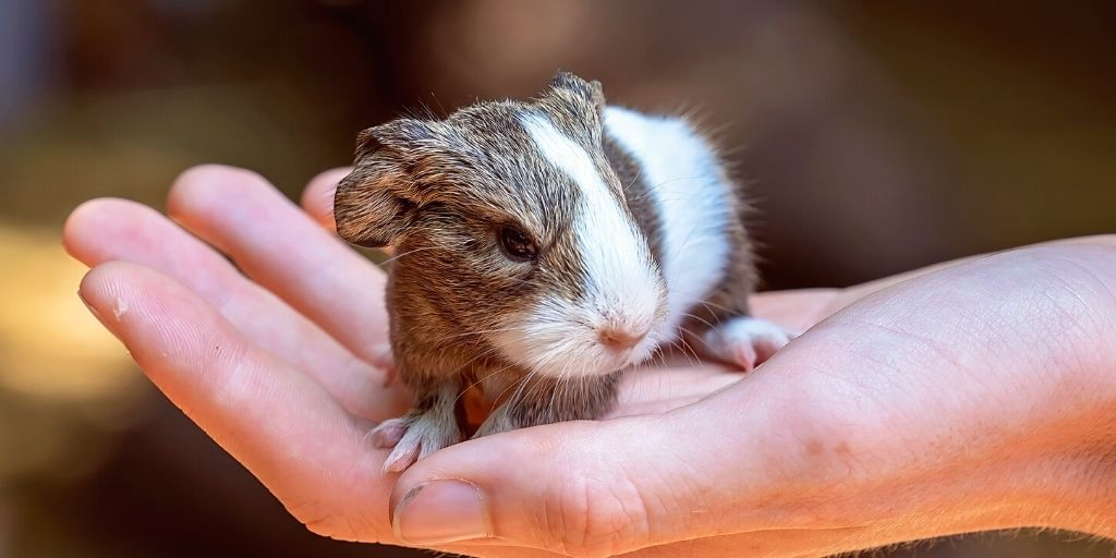 baby guinea pig being held