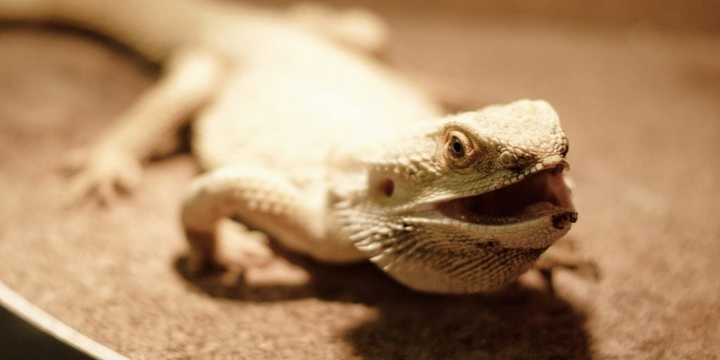bearded dragon on substrate