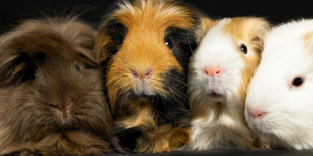 different kinds of guinea pigs