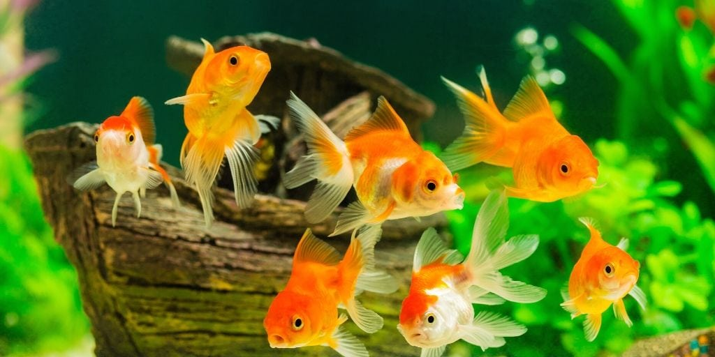 goldfish in a decorated tank