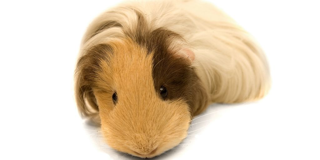 guinea pig laying down with eyes open
