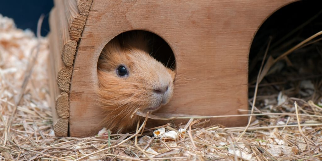 guinea pig lounging in cage