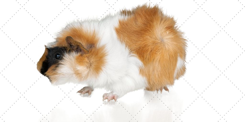 guinea pig with uneven toes