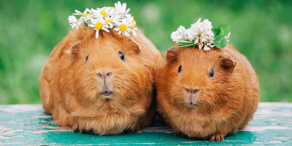 guinea pigs with flowers on their head