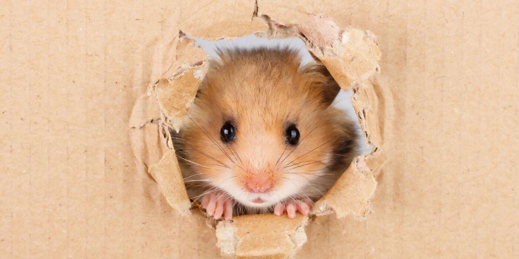 hamster peaking through cardboard