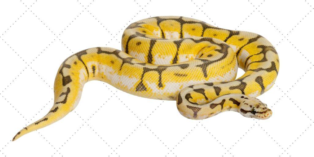 killer bee pattern ball python - super pastel spider