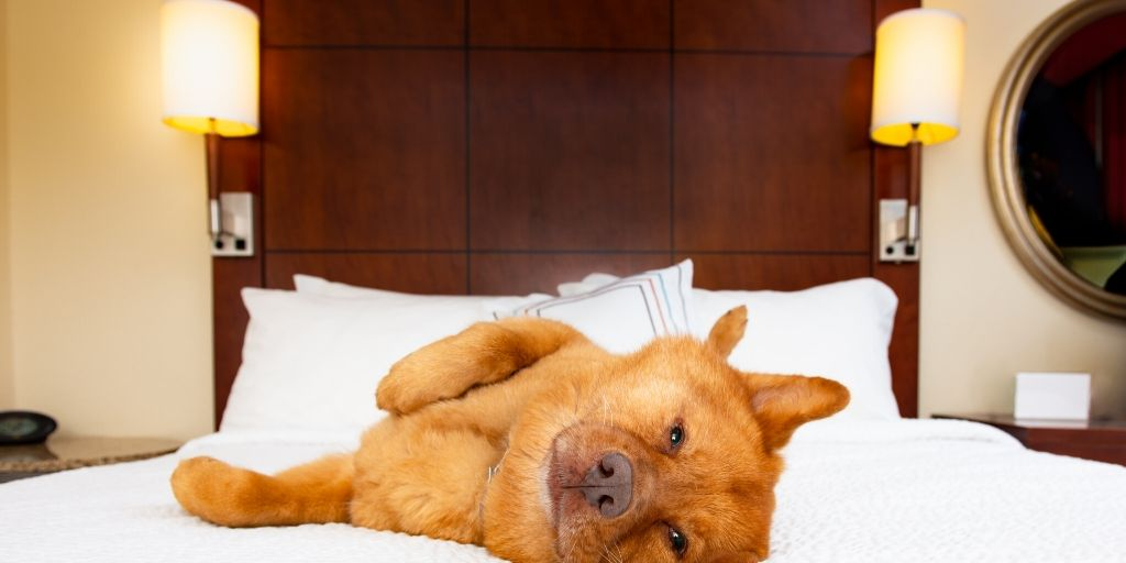 large dog enjoying pet friendly hotel