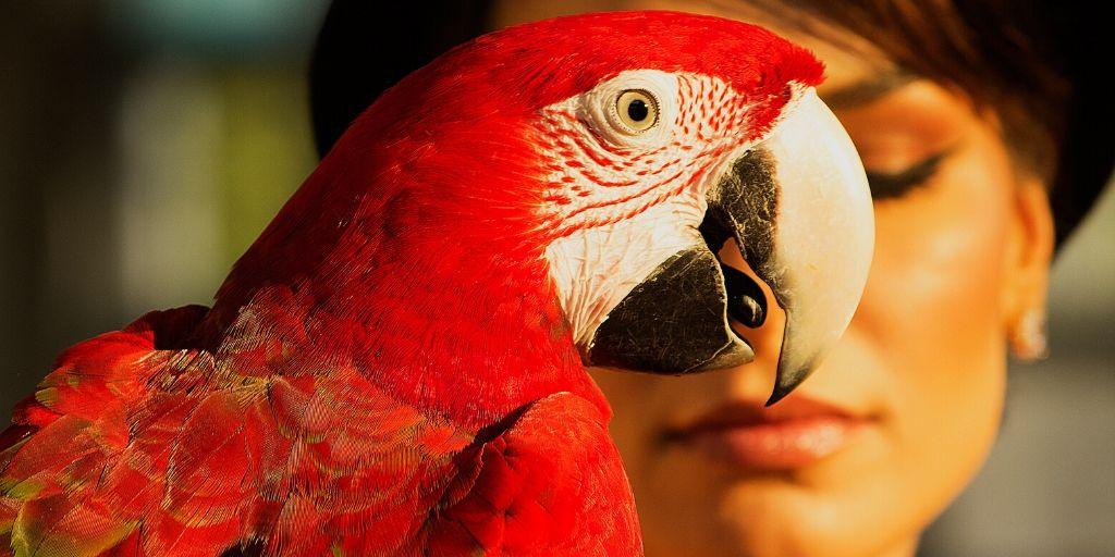 parrot dominance