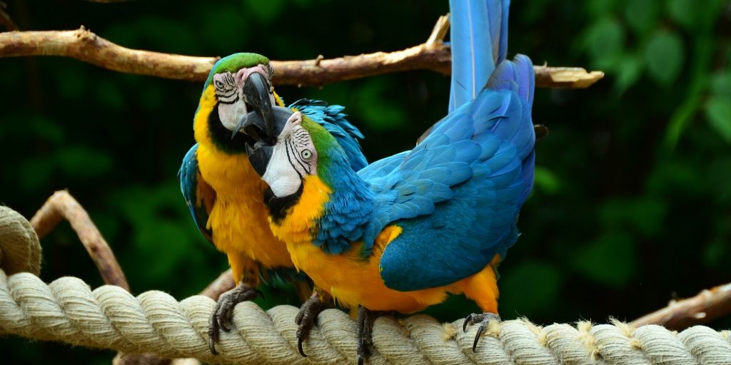 parrots biting each other