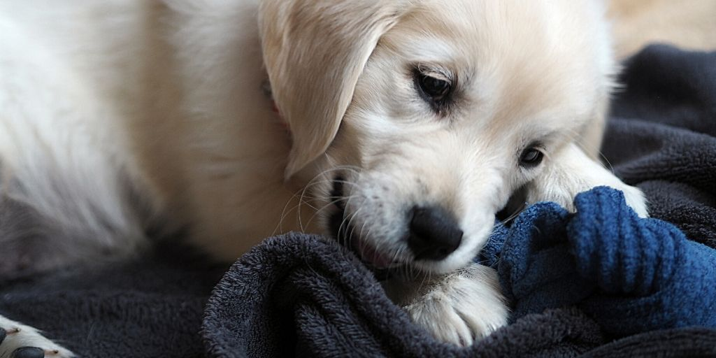 puppy chewing on sock, golden retriever
