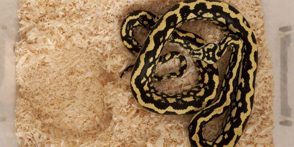 python in a tub