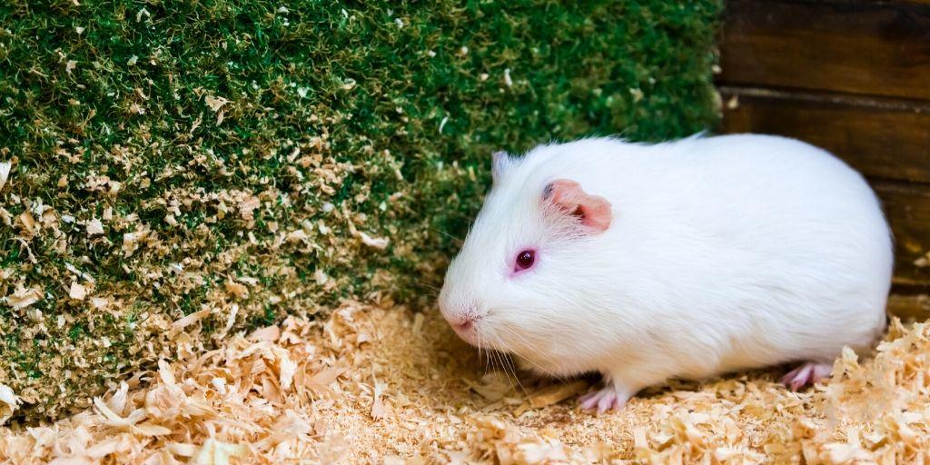 white guinea pig names