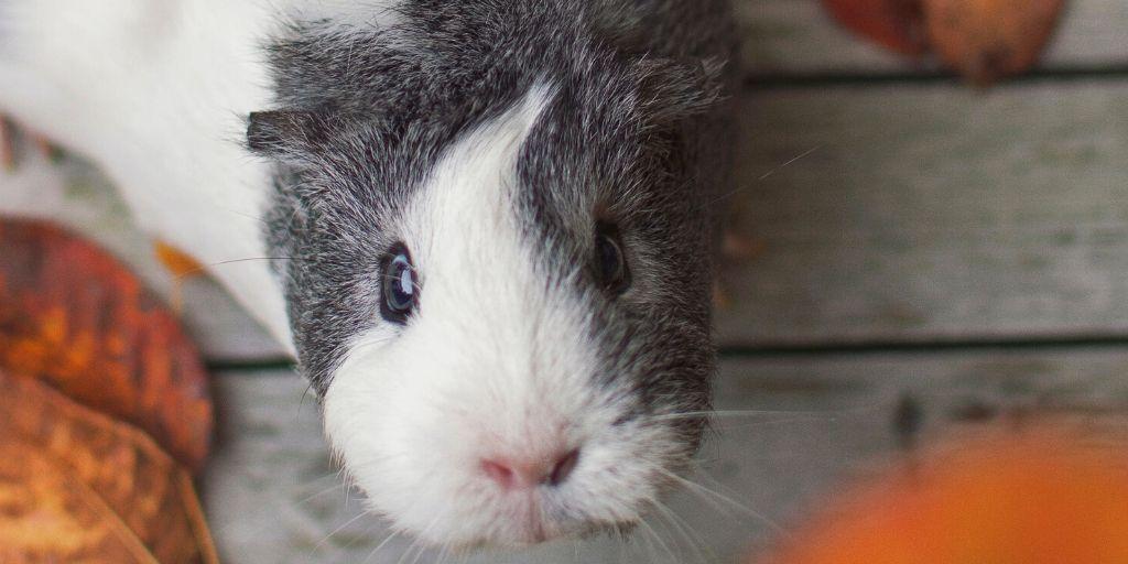 blue eyed guinea pig