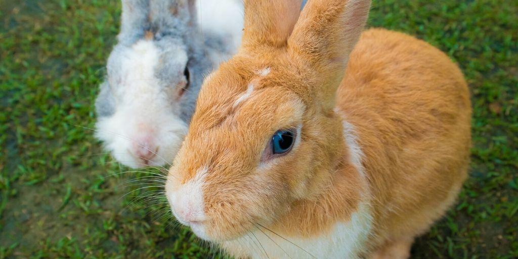 blue eyed rabbit
