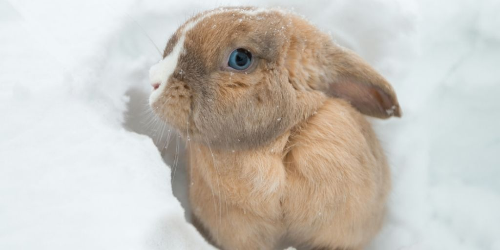 blue eyed rabbit in the snow