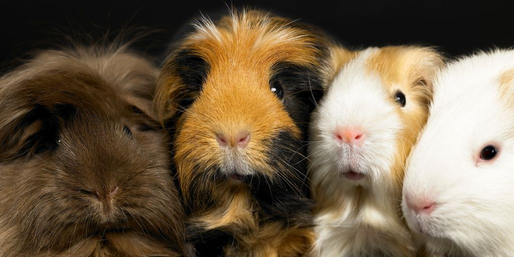different colored guinea pigs