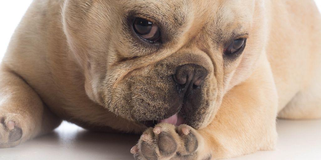 dog licking his paw
