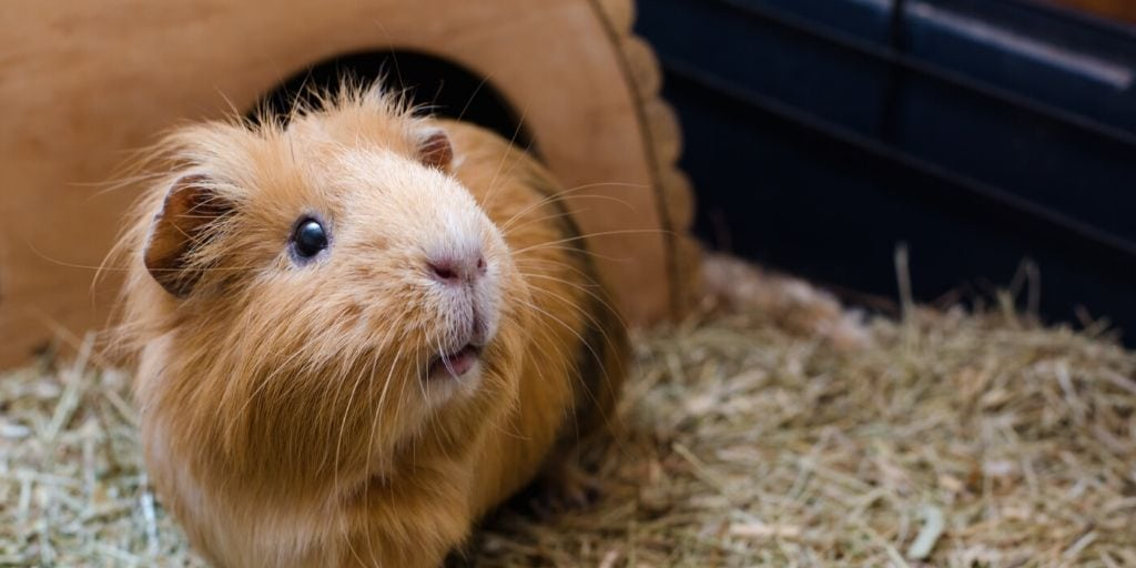 guinea pig in its cage