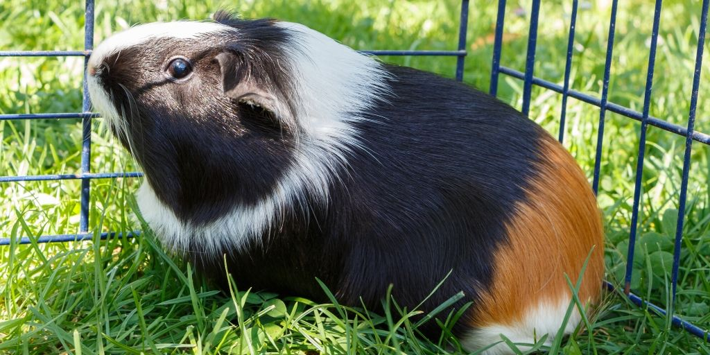 guinea pig in outside playpen