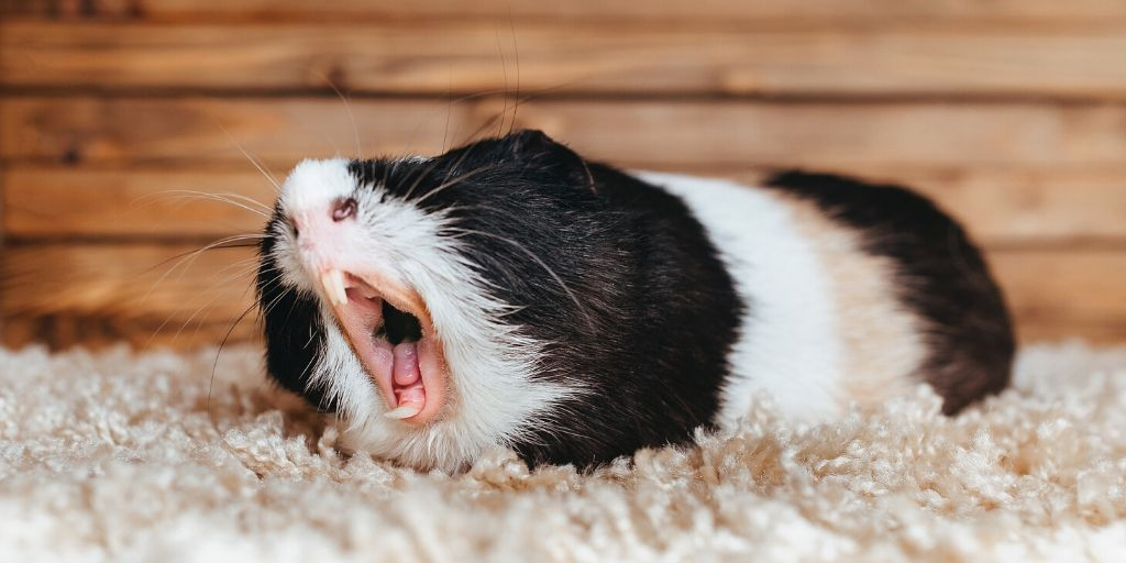 guinea pig showing its teeth
