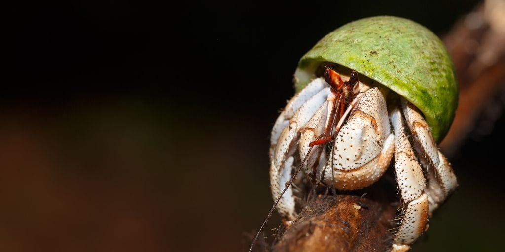 hermit crab on a branch