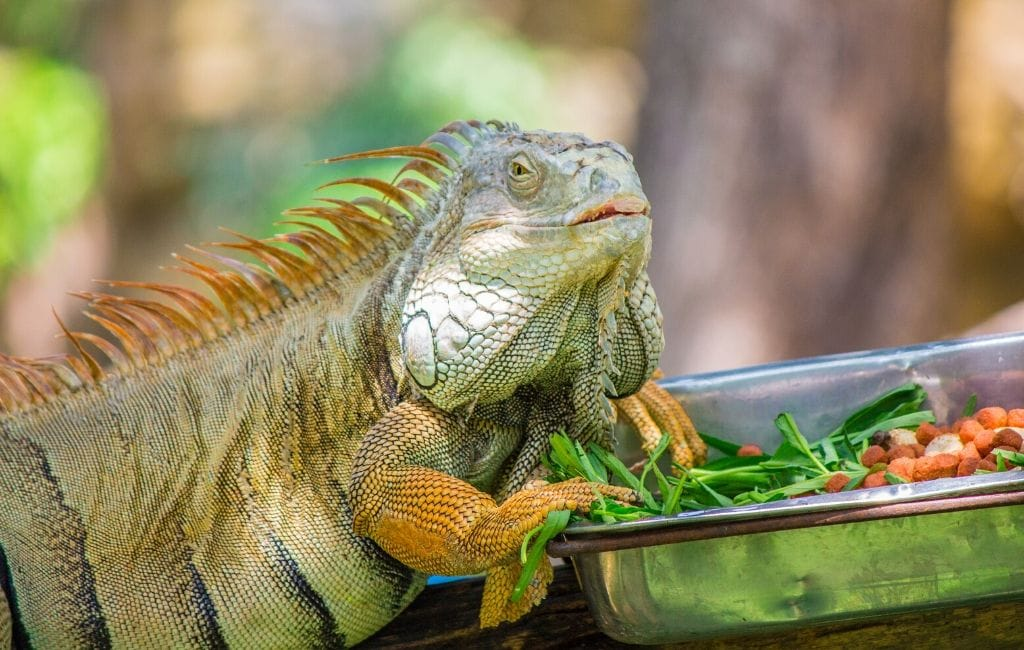 iguana eating vegetables