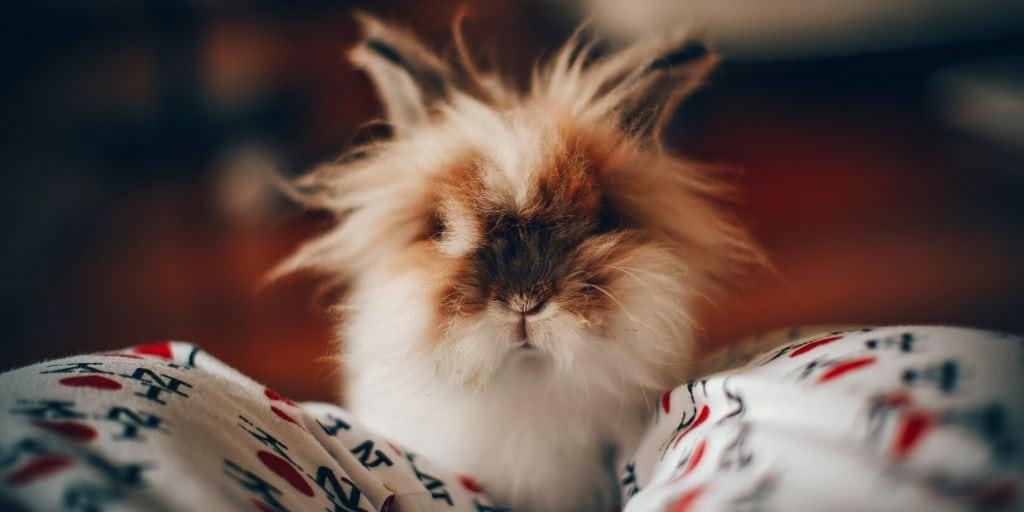 indoor rabbit