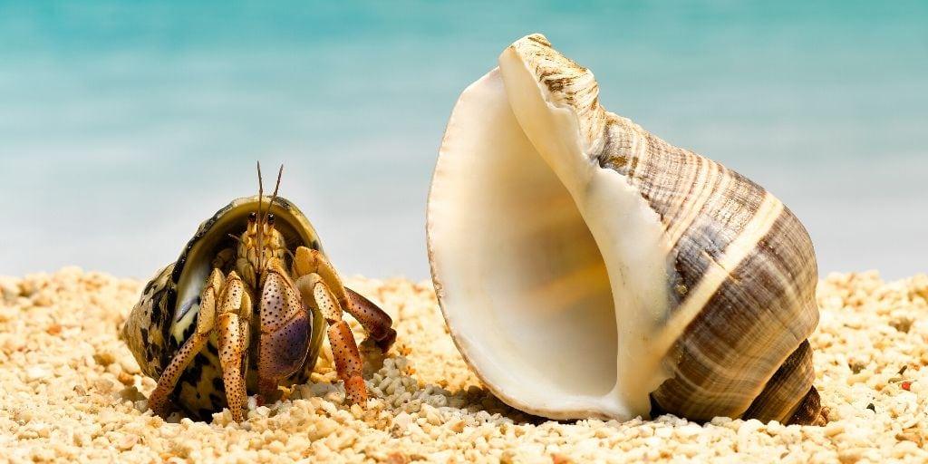 do hermit crabs molt