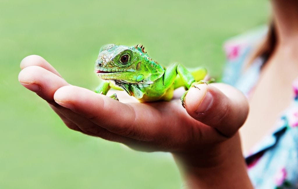 juvenile iguana being held