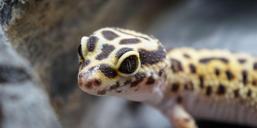 leopard gecko closeup