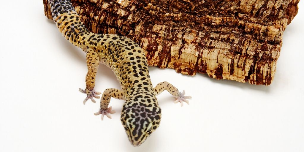 leopard gecko on bark
