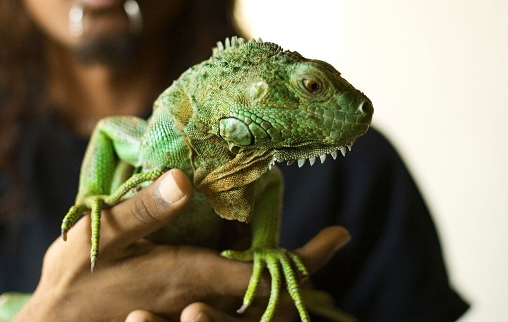 pet iguana being held