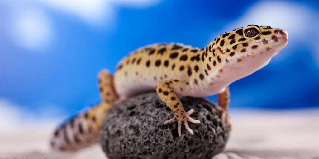 pet leopard gecko on a rock