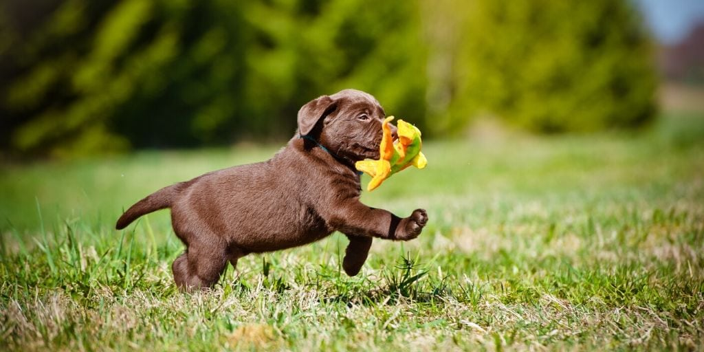 puppy running with a toy