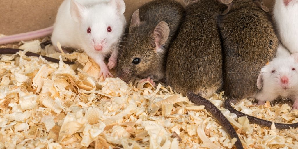 several rats in a cage