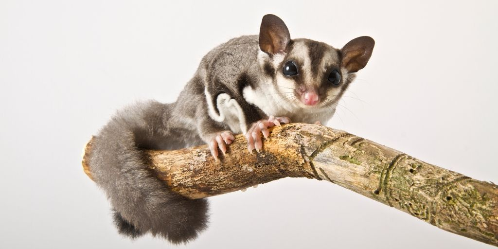 sugar glider on a branch