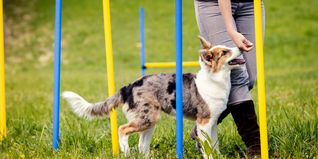 young dog training in agility