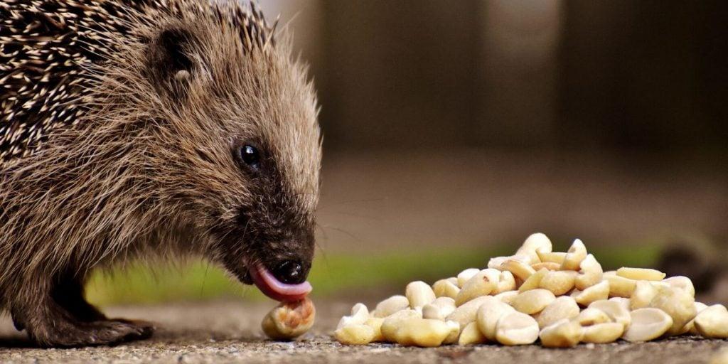 hedgehog eating peanuts