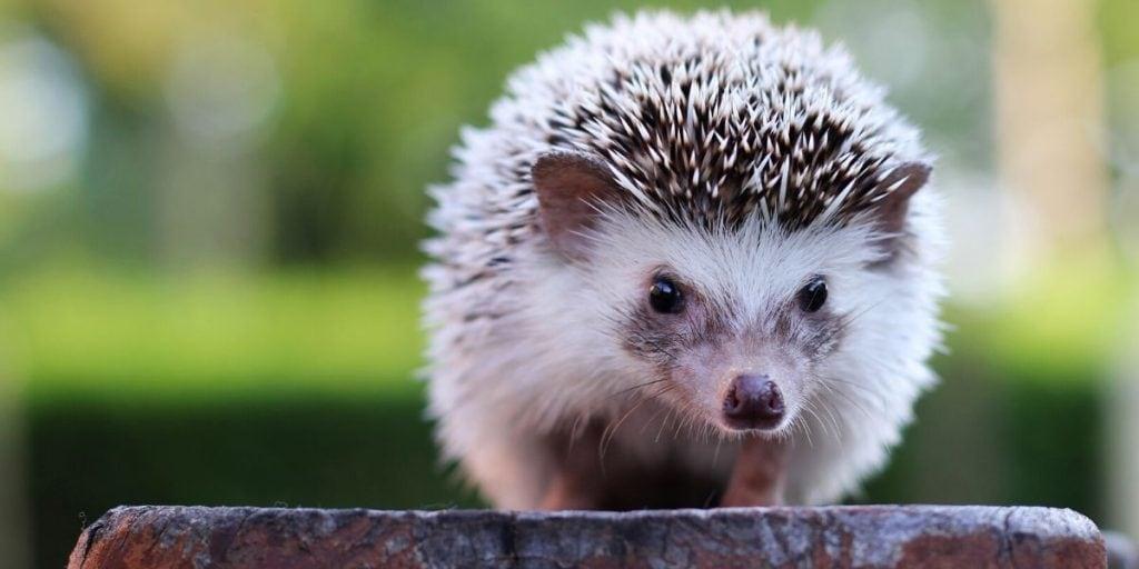 hedgehog on a wood stump