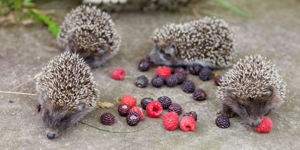hedgehogs eating berries