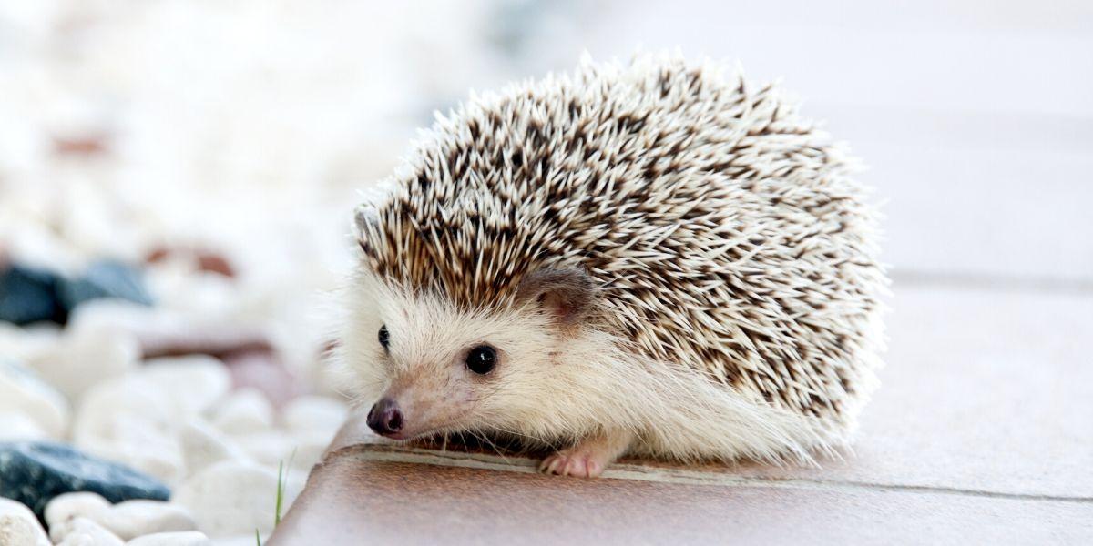 pet hedgehog on a table