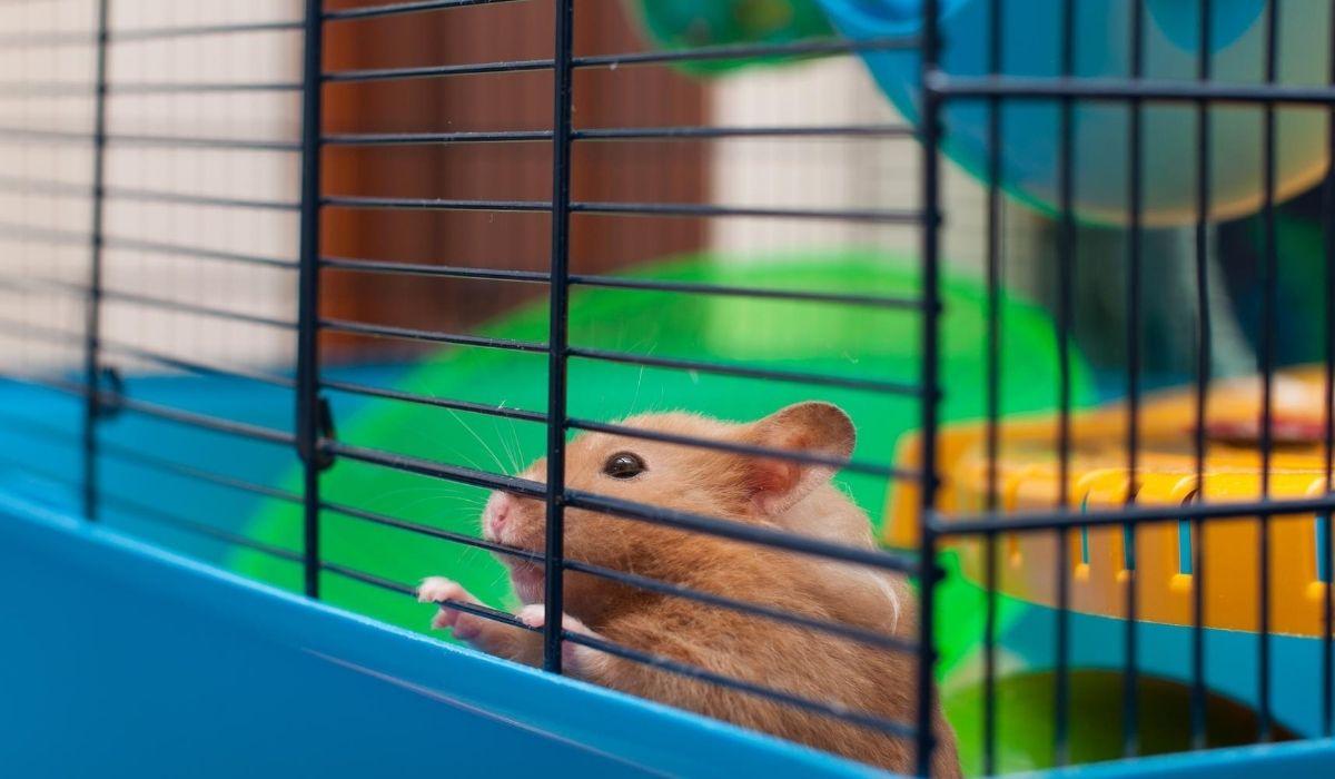 Syrian Hamster inside cage